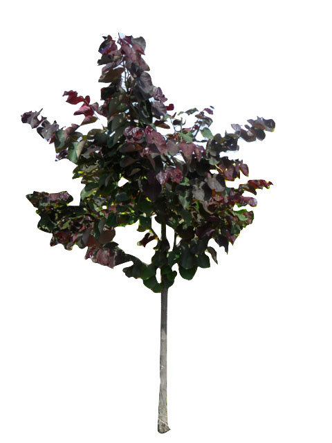 "1.5"" Forest Pansy Redbud"