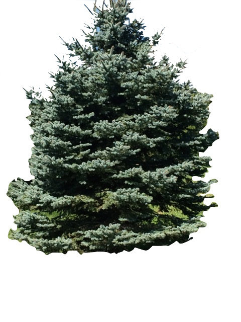 8' Colorado Blue Spruce