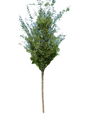 """2.5"""" Green Vase Zelkova"""