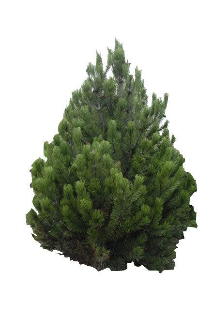 8' Bosnian Pine