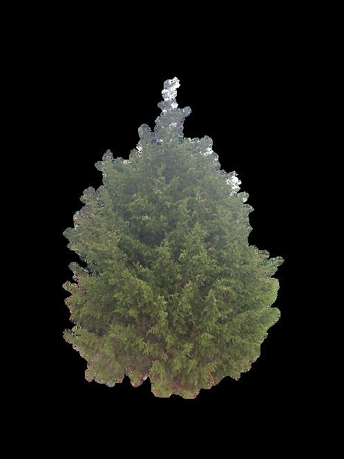 7' Eastern Red Cedar