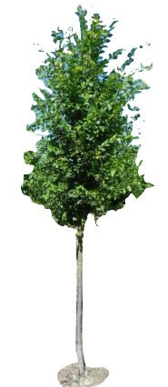 "3"" Valley Forge American Elm"