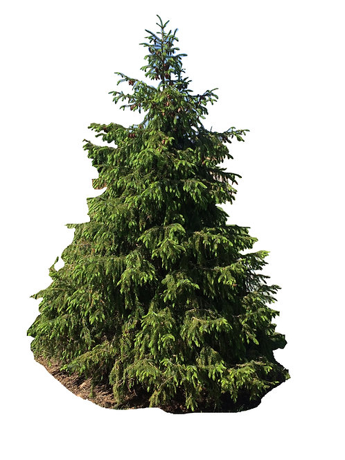 7' Norway Spruce