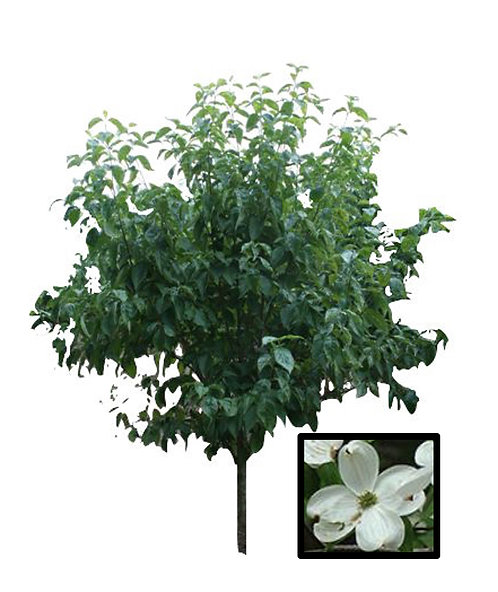"2.5"" White Flowering Dogwood"