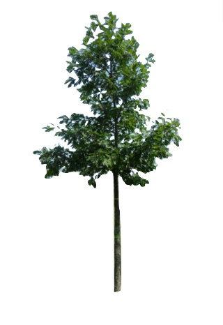 """2"""" White Oak"""