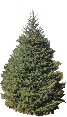 8' Black Hills Spruce
