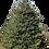 Thumbnail: 8' Black Hills Spruce