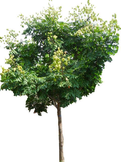 "2.5"" Goldenrain Tree"