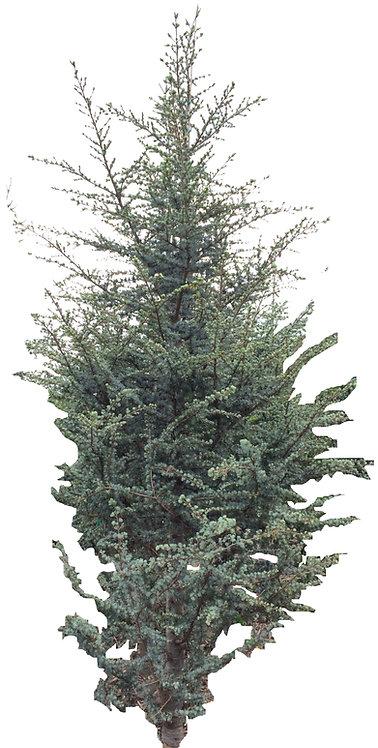 6' Columnar Blue Atlas Cedar