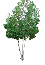 10' Multi-Stem Whitespire Birch