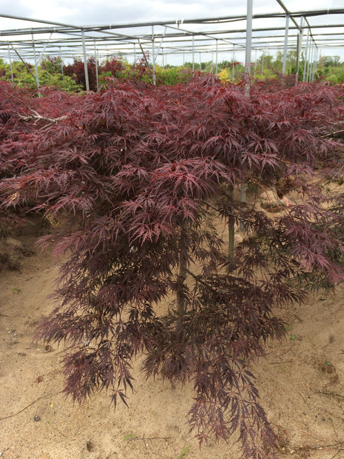 5 Tamukeyama Japanese Maple