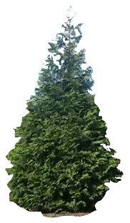 8' Green Giant Arborvitae