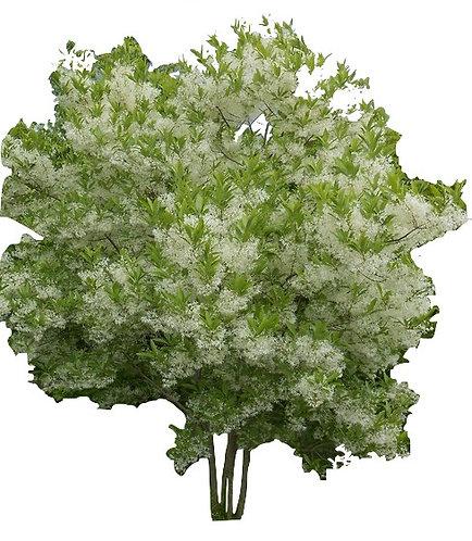 6' Muti-Stem White Fringetree
