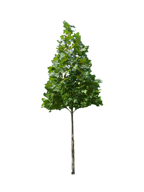 "2.5"" Bloodgood London Planetree"