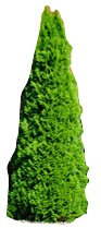 6' Emerald Green Arborvitae