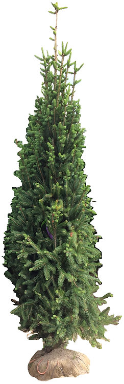 8' Cupressina Norway Spruce