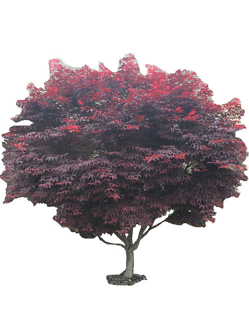 "2"" Bloodgood Japanese Maple"