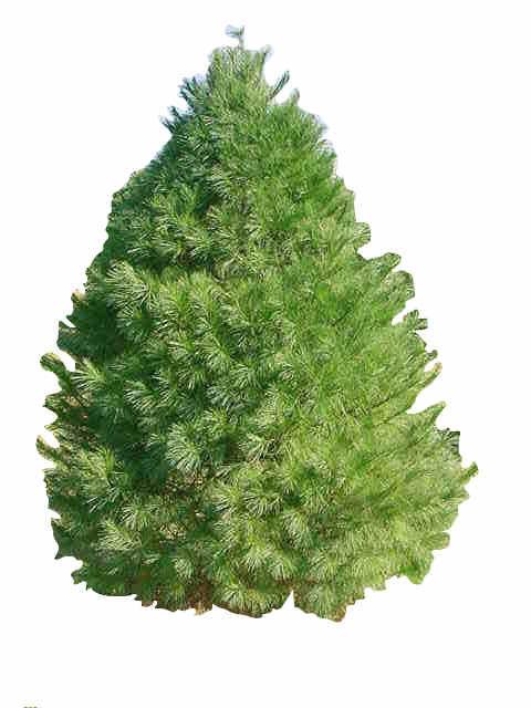 7' Eastern White Pine