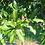 """Thumbnail: 3"""" Shingle Oak"""
