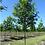 "Thumbnail: 2.5"" Shumard Oak"