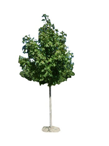 "2.5"" Green Mountain Sugar Maple"