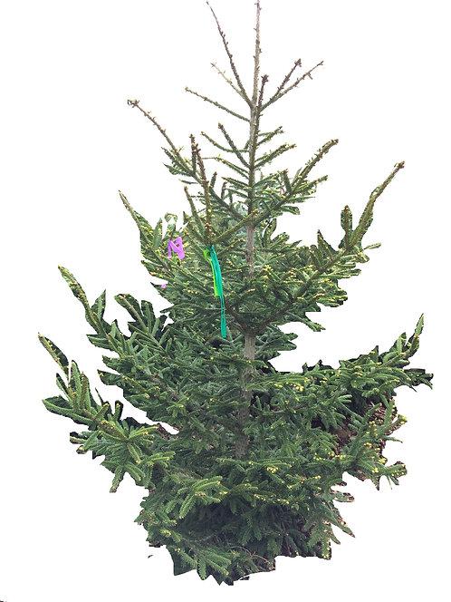 6' Green Knight Oriental Spruce