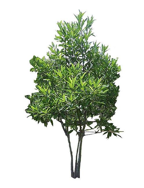 10' Sweetbay Magnolia