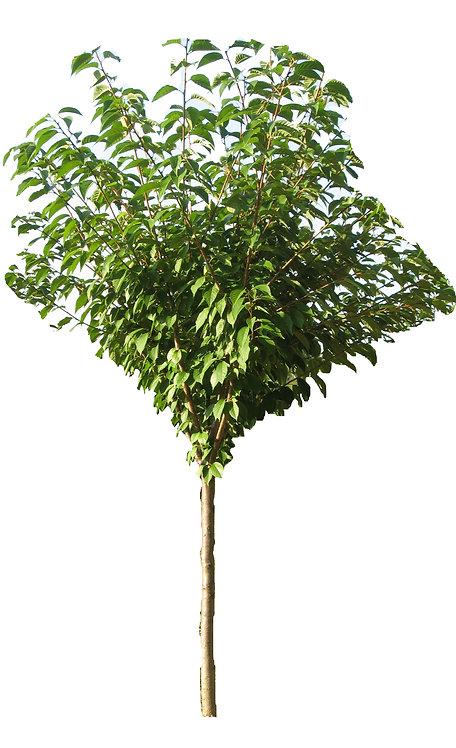 """1.5"""" Kwanzan Cherry"""