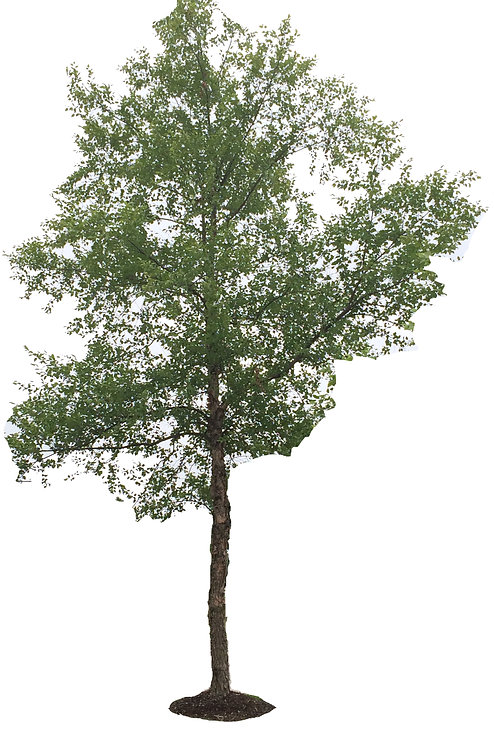 "3"" Heritage River Birch"