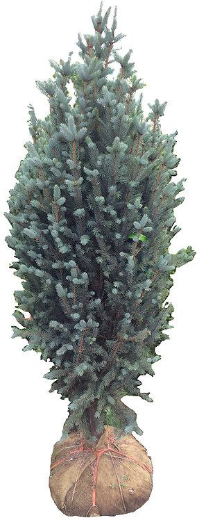 6' Columnar Blue Spruce