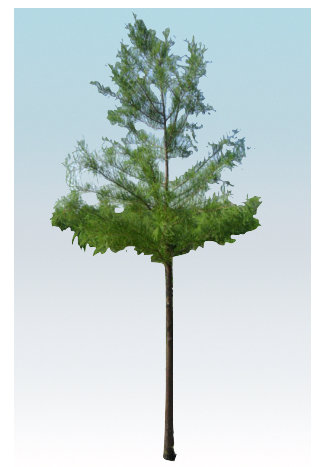"2.5"" Pond Cypress"