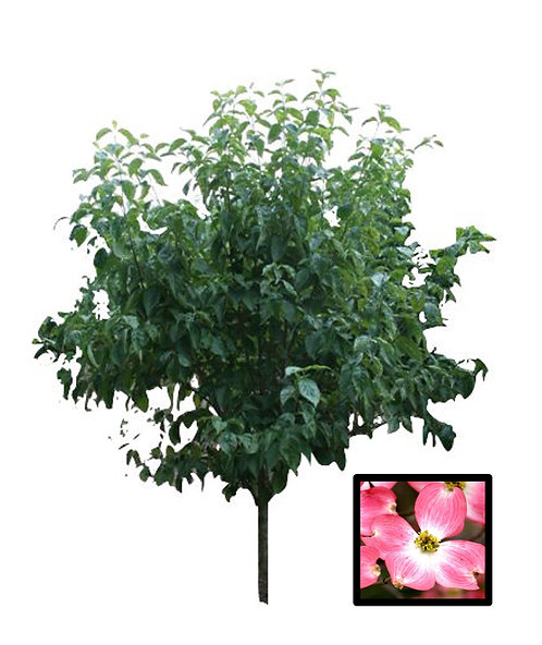 "2.5"" Pink Flowering Dogwood"