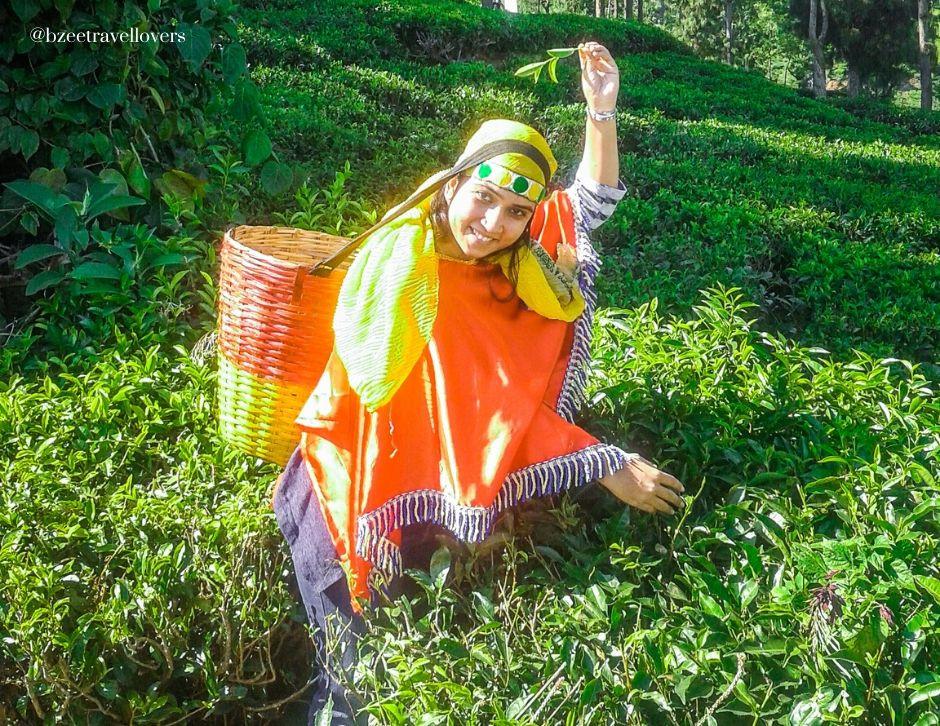 Tea plucking in Ooty