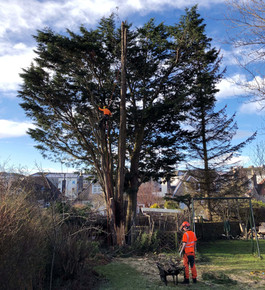 Hazerdous Tree Removal