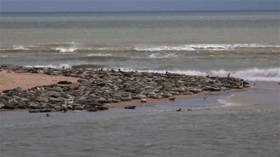 Large grey seal group