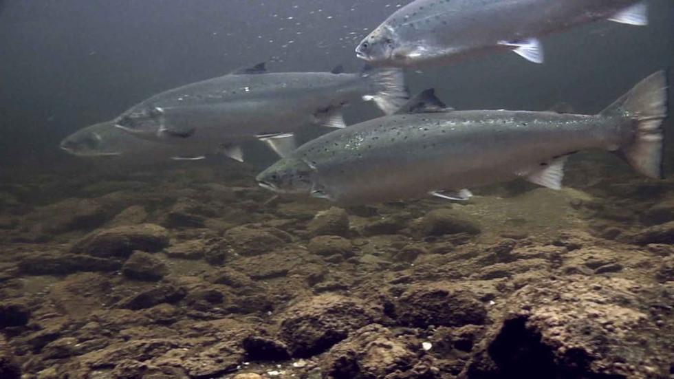 Salmon approach the coast