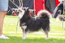 Dogshow Kaunis Unelma Beautiful Miss Safir.jpg