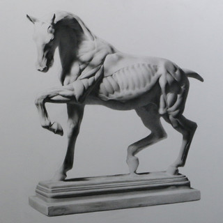 Cast Drawing of Ecorche Horse