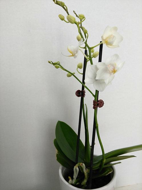 Mini Phalaenopsis orchid.