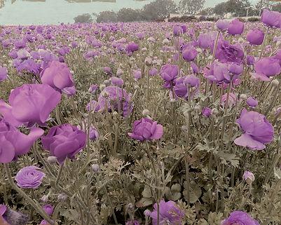 Purple Passion copy.jpg