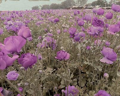 purple wildflower landscape country field