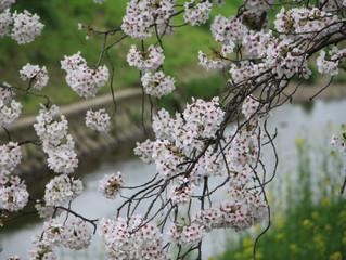 吉野の桜と病