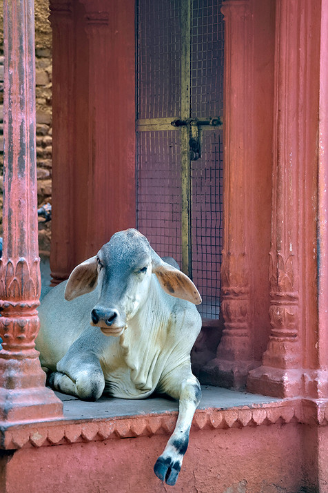 A Sacred Cow; Varanasi, India
