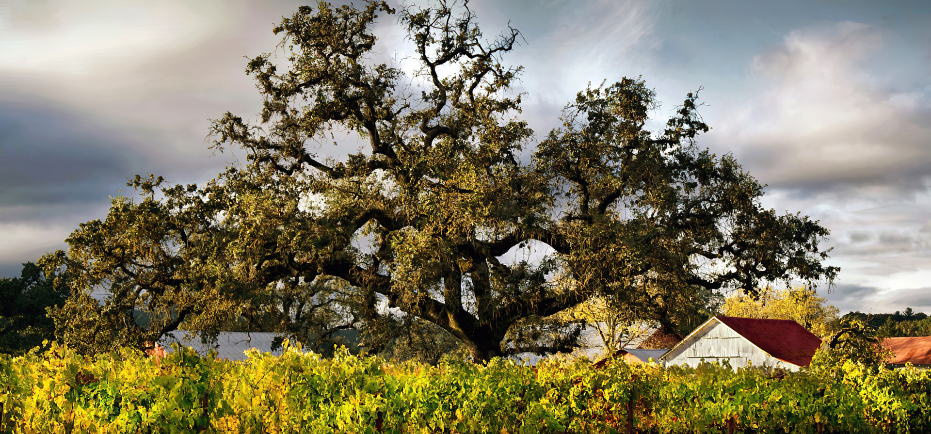 Valley Oaks in October; Sonoma County