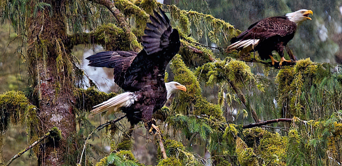Prince William Sound, Alaska; American eagles enjoy another rainy day
