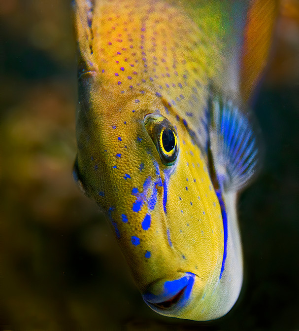 Blue Lips; Flagfin Angelfish