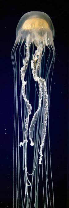 Long Taill Jelly