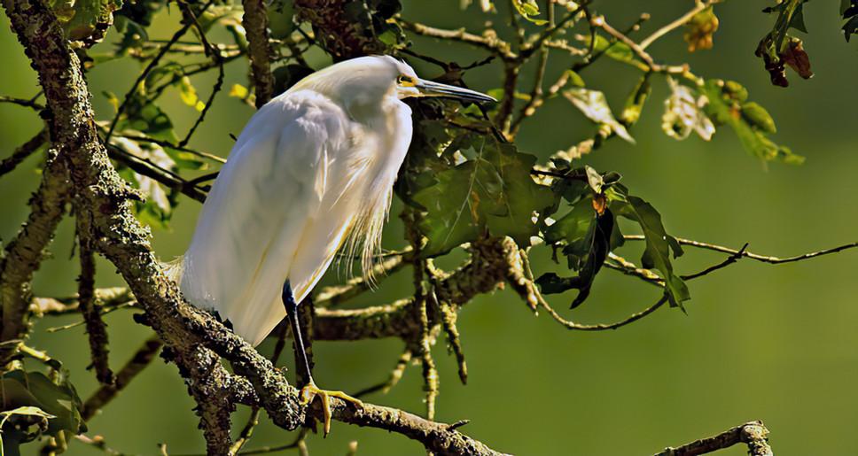 White Heron on Lake Ralphine,Sonoma County, CA