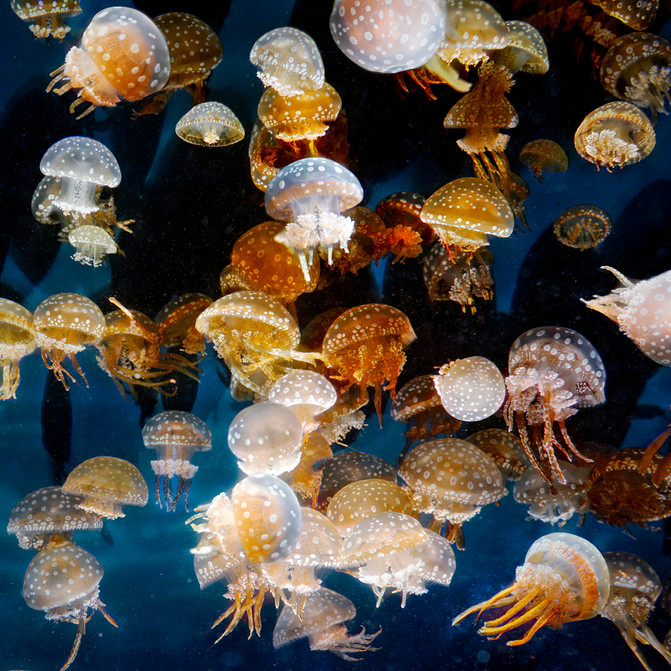 Spotted Jellie Cluster