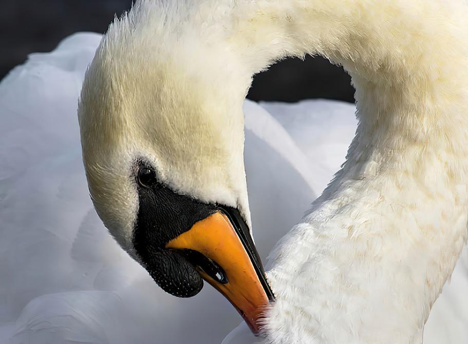 Swan; Galway, Ireland